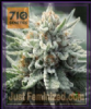710 Genetics Tropical Berry Fem 5 Marijuana Seeds
